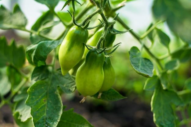 Tomates verdes crescem em um arbusto em um jardim de verão
