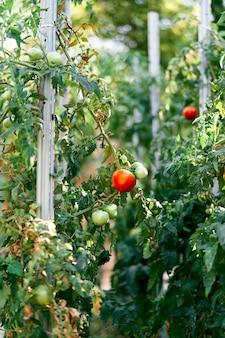 Tomates verdes e maduros crescem em um canteiro de jardim com adereços