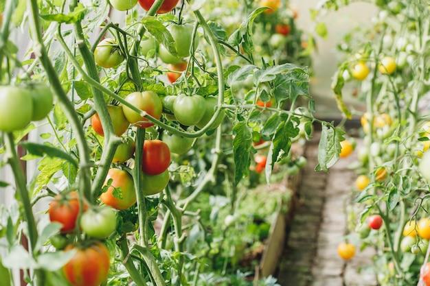 Tomates verdes e vermelhos em estufa ou horta