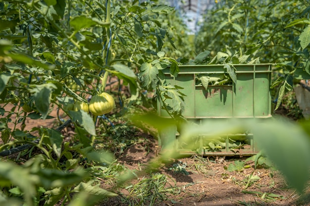 Tomates verdes em uma estufa amadurecem ao sol na fazenda