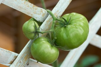 Tomates verdes (Lycopersicon esculentum Mill.) Tomates