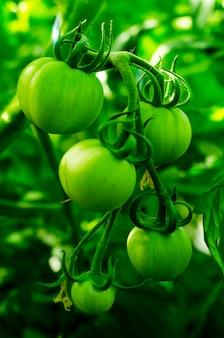 Tomates verdes maduros no mato. foto do estúdio