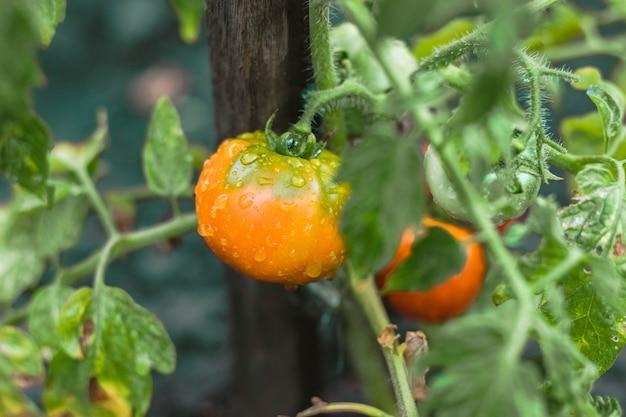 Tomates verdes no arbusto com gotas da água. planta de fazenda. vegetal orgânico. colheita de verão. comida natural e saudável. nutrição vegetariana.