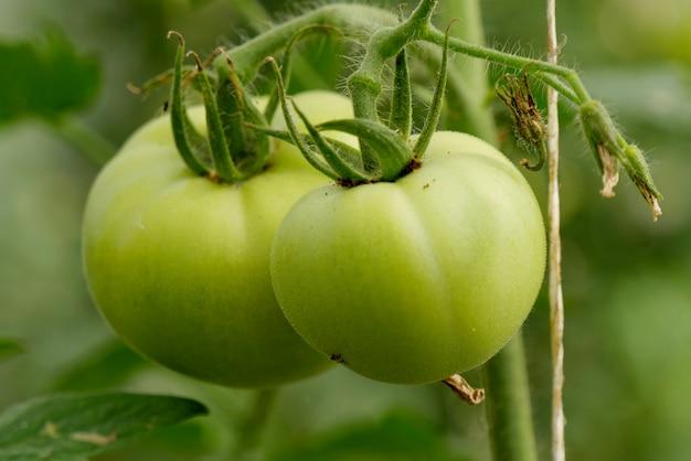 Tomates verdes no jardim, close-up