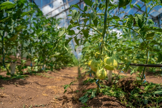 Tomates verdes orgânicos amadurecem em uma estufa. cultivo de vegetais sem produtos químicos, alimentos saudáveis