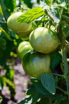 Tomates verdes verdes crescendo nas hastes até o solo.
