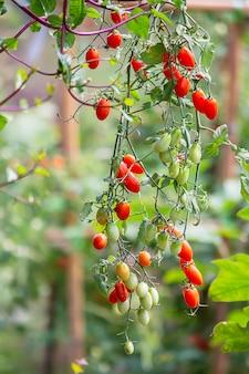 Tomates vermelhos brilhantes em muitas árvores no jardim.