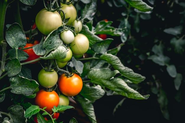 Tomates vermelhos e verdes que crescem na planta