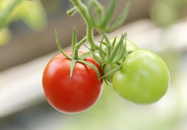 Tomates vermelhos e verdes