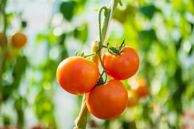 Tomates vermelhos frescos maduros pendurados na videira crescendo na horta orgânica