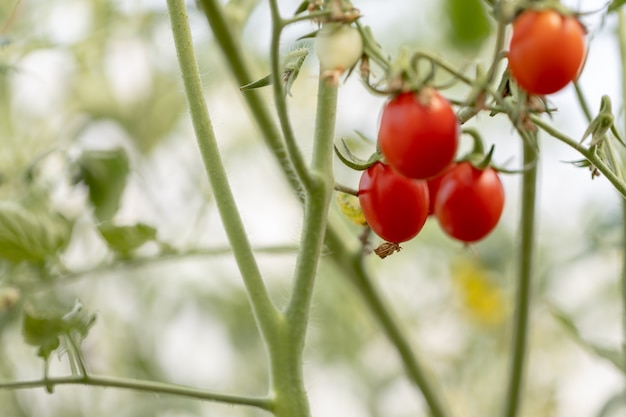 Tomates vermelhos frescos não tóxicos.