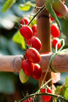 Tomates vermelhos maduros estão pendurados no tomate no jardim