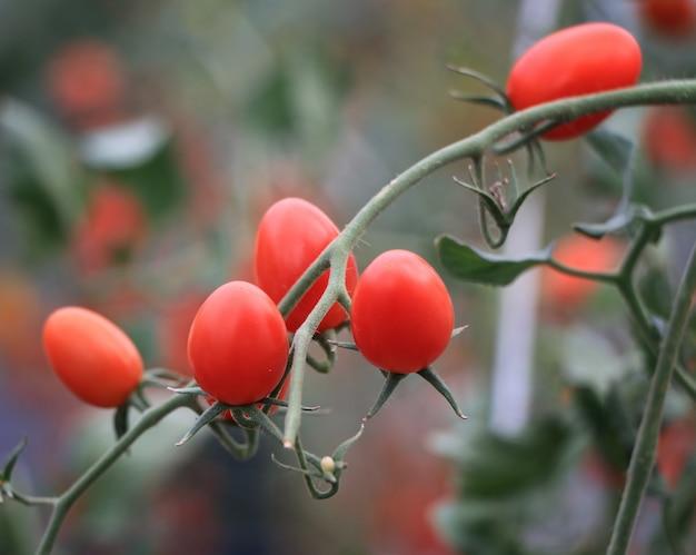 Tomates vermelhos maduros frescos crescendo na videira em estufa