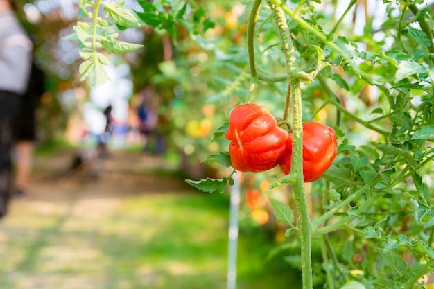 Tomates vermelhos, plantio de vegetais orgânicos
