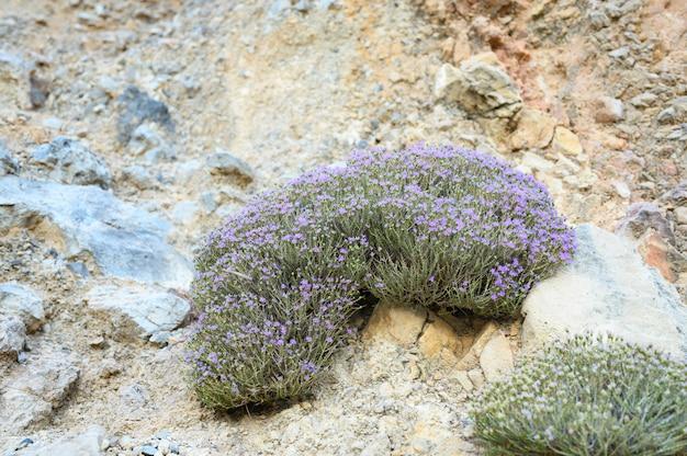Tomilho selvagem grego da montanha bush que floresce flores roxas pálidas entre as pedras