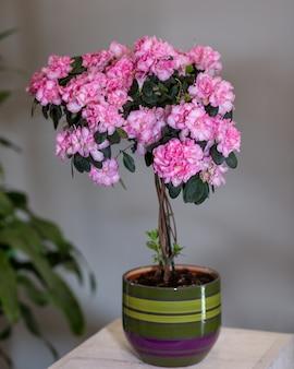 Topiária de azaléia rosa no pote colorido
