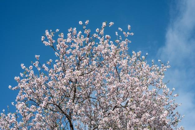 Topo da amendoeira com flores brancas contra o céu azul