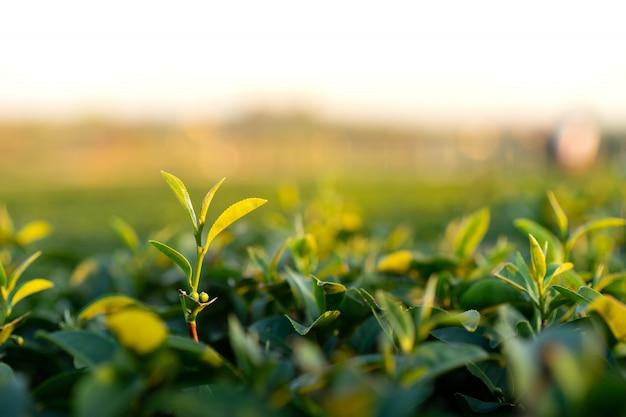 Topo da árvore do chá verde.