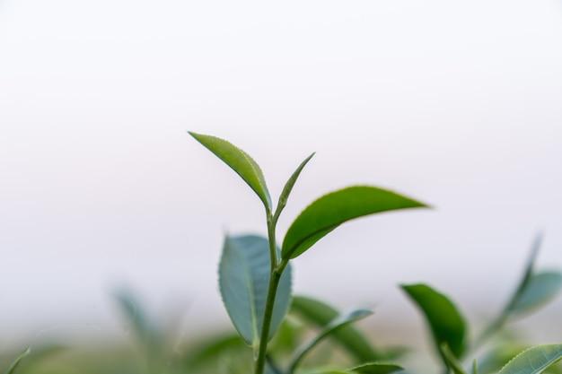 Topo da folha de chá verde de fundo desfocado de manhã. fechar-se.