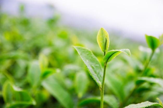 Topo das folhas de chá na fazenda