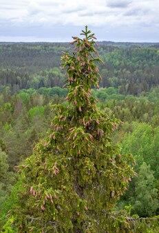 Topo de pinheiros. vista superior da floresta. paisagem cênica. pinho com cones marrons