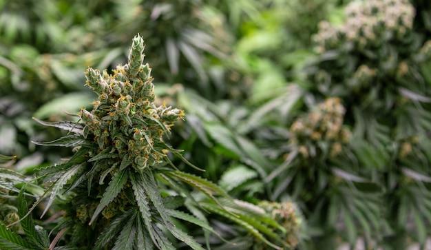 Topo de plantas de cannabis ruderalis no laboratório de ciências para fazer remédios e produtos à base de ervas