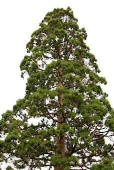 Topo de uma velha e majestosa sequóia (sequoiadendron giganteum) isolada no branco