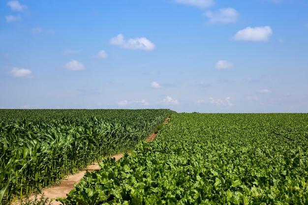 Topos de beterraba para produção de açúcar, partes verdes da planta de beterraba sacarina no verão em um campo agrícola