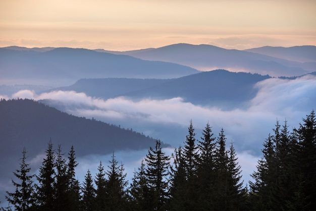 Topos de pinheiro escuro nas montanhas, vales nebulosos e céu rosa no fundo azul enevoado do nascer do sol.