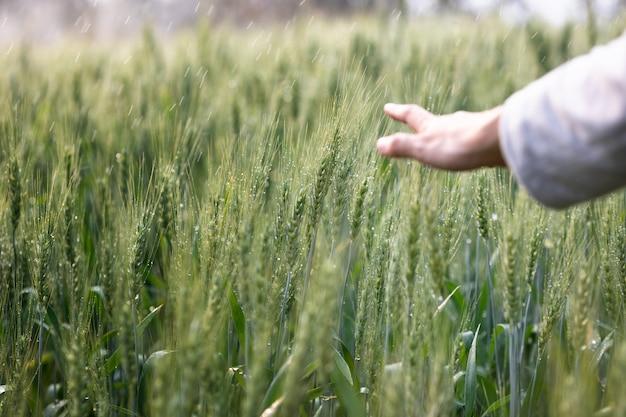 Toque de mão de mulher sobre o campo verde de cevada. momento autêntico atmosférico. menina elegante, aproveitando a noite tranquila na zona rural. copie o espaço. vida lenta rural