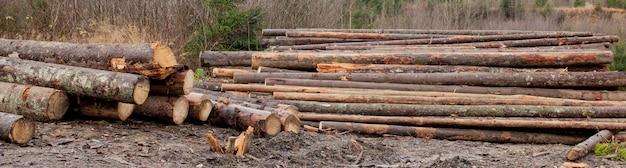 Toras de madeira de pinhais na floresta, empilhadas em uma pilha. troncos de árvores recentemente picados, empilhados uns sobre os outros em uma pilha.