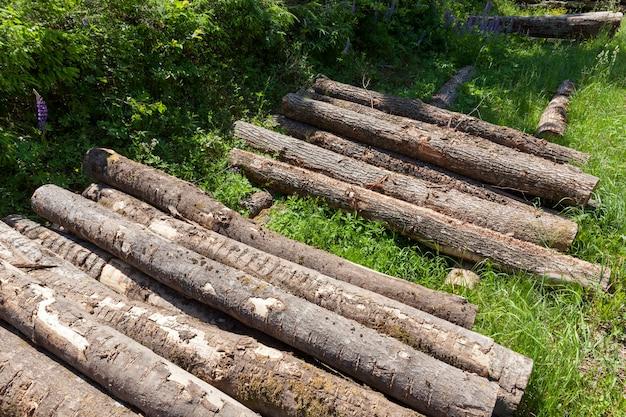 Toras de pinheiros coníferos empilhados durante a colheita de madeira, madeira com casca e danos