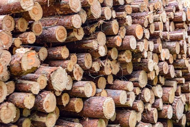 Toras empilhadas colhendo toras de pinheiro na floresta madeira dobrada uma pilha de toras em uma floresta de coníferas ...