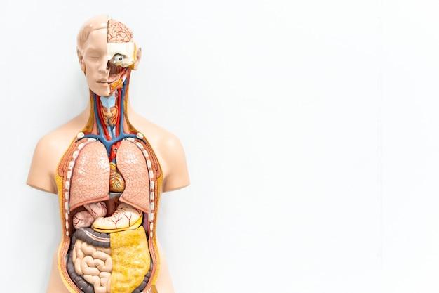 Torso humano com modelo artificial de órgãos na sala de aula de estudante de medicina em fundo branco, com espaço de cópia