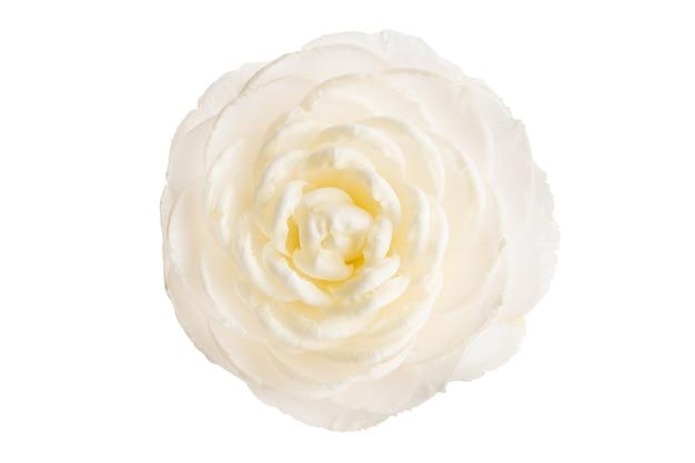 Totalmente florescer flor de camélia branca isolada no branco. camellia japonica