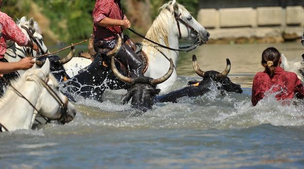Touro e cavalos na água