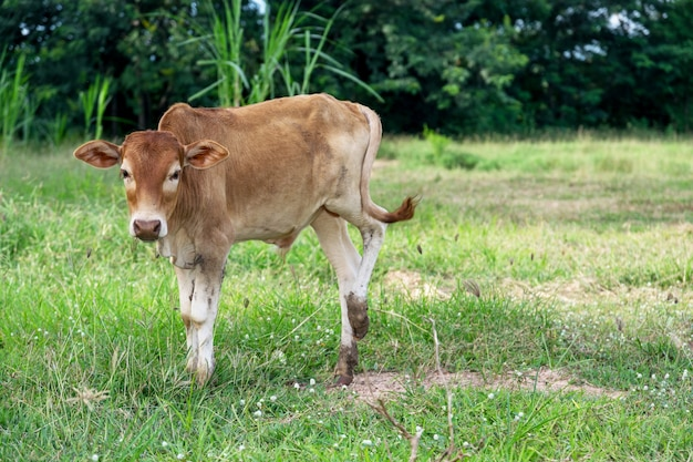 Touro marrom bebê na fazenda.