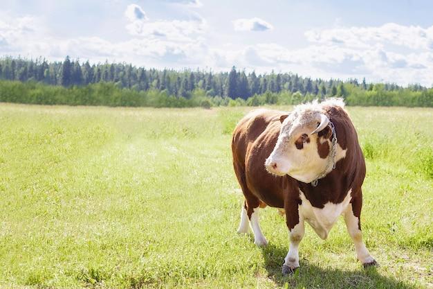 Touro, um grande touro com uma argola no nariz, ergueu-se majestosamente em uma exuberante campina de verão