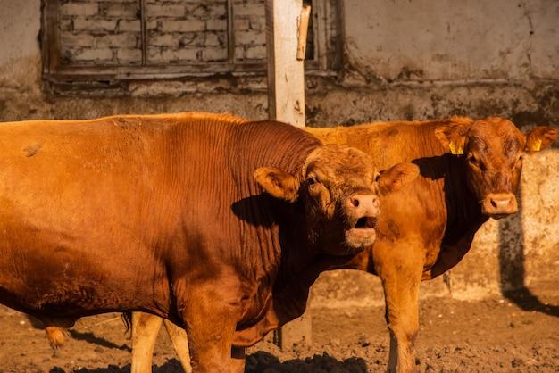 Touros de limusine em uma fazenda. os touros limusine passam muito tempo na fazenda. touros na fazenda