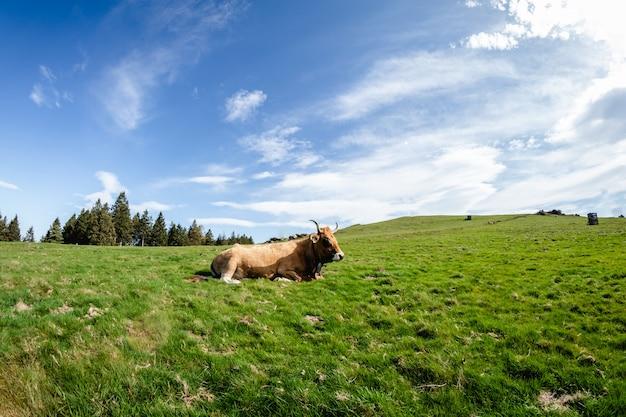 Touros e vacas que vivem em liberdade nas montanhas