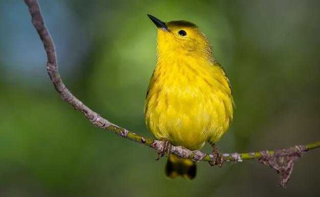 Toutinegra amarela em um galho