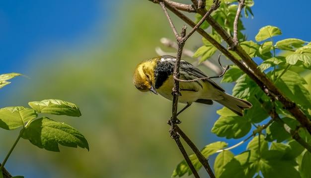 Toutinegra-de-garganta-preta (setophaga virens)