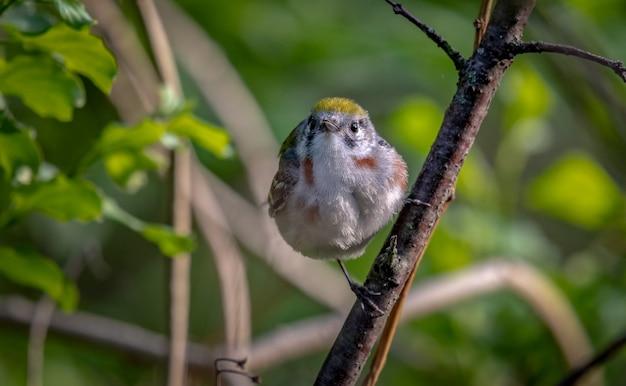 Toutinegra-do-lado-da-castanha (setophaga pensylvanica)