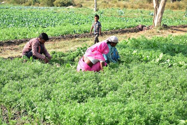 Trabalhador agrícola indiano não identificado colhendo coentro verde e segurando o cacho nas mãos na fazenda orgânica.