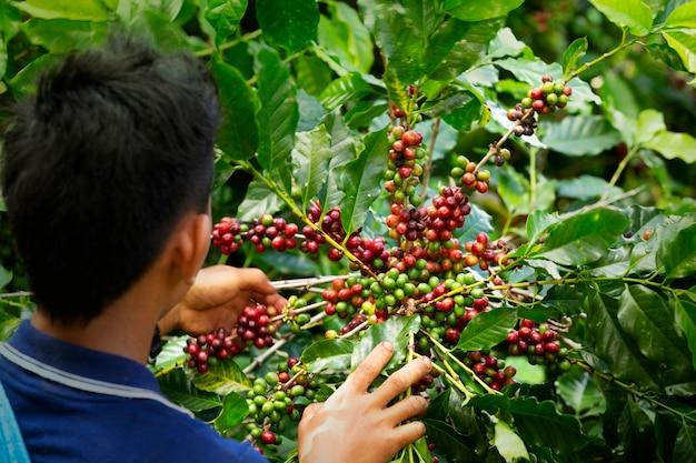 Trabalhador, colheita, arabica, café, bagas, ligado, seu, ramo, agricultura, economia, indústria, negócio