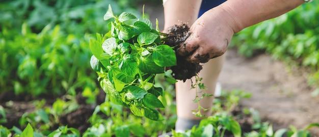 Trabalhador com mudas de pimenta na primavera.