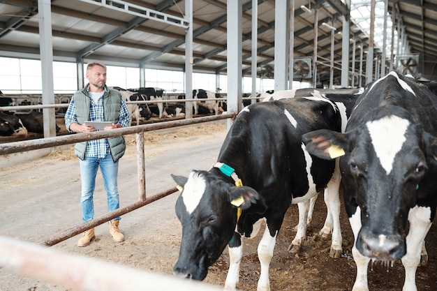 Trabalhador confiante em uma grande fazenda de gado leiteiro com touchpad ao lado do estábulo e olhando vacas leiteiras em preto e branco