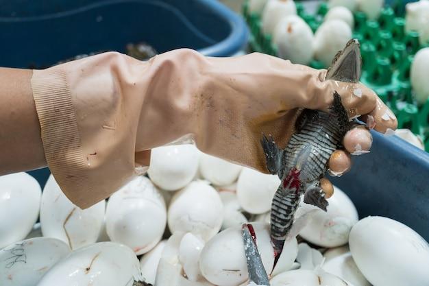 Trabalhador corta o cordão umbilical de um crocodilo recém-nascido após a eclosão dos ovos