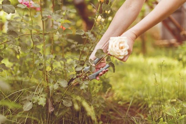 Trabalhador da estufa corta plantas de flores com uma tesoura