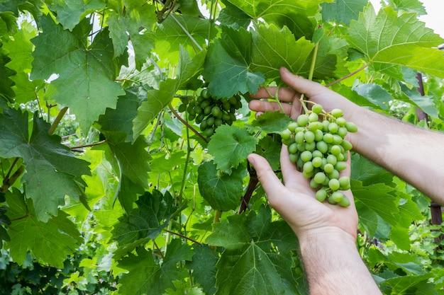 Trabalhador do vinhedo que verifica a qualidade das uvas no vinhedo. enólogo verifica a colheita de uvas.